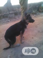 Baby Male Purebred German Shepherd Dog   Dogs & Puppies for sale in Plateau State, Jos North