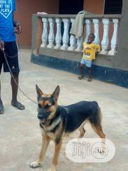 Adult Female Purebred German Shepherd Dog | Dogs & Puppies for sale in Oyo State, Akinyele