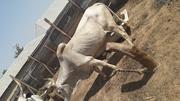Christmas Cow | Livestock & Poultry for sale in Lagos State, Kosofe