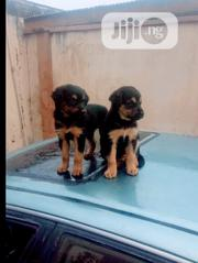 Baby Male Purebred German Shepherd Dog | Dogs & Puppies for sale in Oyo State, Iseyin