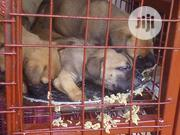 Baby Female Purebred Boerboel | Dogs & Puppies for sale in Ogun State, Ado-Odo/Ota