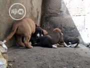 Young Female Purebred American Pit Bull Terrier | Dogs & Puppies for sale in Oyo State, Egbeda