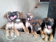 Baby Male Purebred German Shepherd Dog | Dogs & Puppies for sale in Abuja (FCT) State, Central Business District