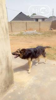 Adult Female Purebred German Shepherd Dog | Dogs & Puppies for sale in Ogun State, Abeokuta South