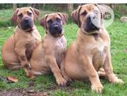 Young Male Mixed Breed Boerboel   Dogs & Puppies for sale in Ondo State, Isua
