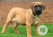 Young Male Purebred Boerboel   Dogs & Puppies for sale in Ondo State, Isua