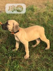 Baby Male Purebred Boerboel | Dogs & Puppies for sale in Lagos State, Ikorodu