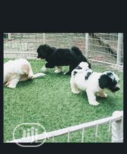Baby Male Purebred Lhasa Apso | Dogs & Puppies for sale in Oyo State, Ona-Ara