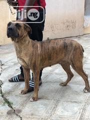Young Female Purebred Boerboel | Dogs & Puppies for sale in Oyo State, Ogbomosho South