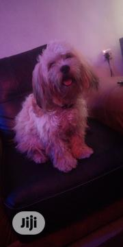 Young Male Purebred Lhasa Apso | Dogs & Puppies for sale in Osun State, Osogbo