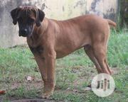 Young Male Purebred Boerboel | Dogs & Puppies for sale in Abuja (FCT) State, Karu