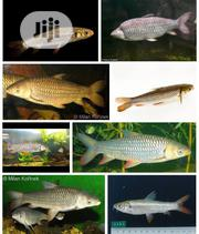 Cigar Shark Fish | Fish for sale in Lagos State, Surulere