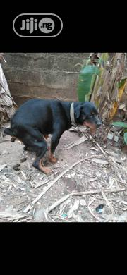 Adult Female Purebred Rottweiler | Dogs & Puppies for sale in Oyo State, Ibadan