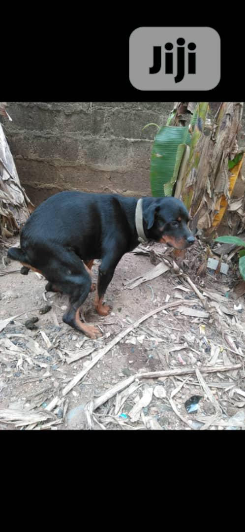 Archive: Adult Female Purebred Rottweiler