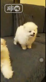 Young Male Purebred Pomeranian | Dogs & Puppies for sale in Lagos State, Alimosho