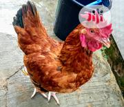 Very Healthy Chickens Up For Sale , At A Very Affordable Price. | Livestock & Poultry for sale in Lagos State, Surulere