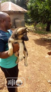 Baby Male Purebred German Shepherd Dog | Dogs & Puppies for sale in Anambra State, Oyi