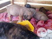 Baby Male Purebred Boerboel | Dogs & Puppies for sale in Ondo State, Akure