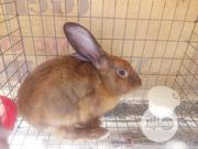 Male Rabbit | Livestock & Poultry for sale in Ogun State, Ifo