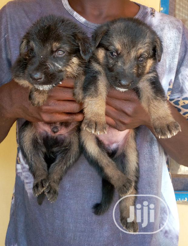Baby Female Purebred German Shepherd Dog