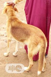 Adult Female Mixed Breed German Shepherd Dog | Dogs & Puppies for sale in Osun State, Iwo