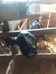 Friesians Bull   Livestock & Poultry for sale in Kano State, Fagge