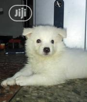 Baby Female Purebred American Eskimo Dog | Dogs & Puppies for sale in Lagos State, Lekki Phase 1