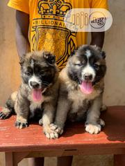 Baby Female Purebred Caucasian Shepherd Dog | Dogs & Puppies for sale in Lagos State, Lekki Phase 1