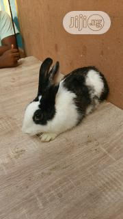 Rabbit For Sale (Male Dutch) | Livestock & Poultry for sale in Lagos State, Shomolu