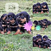 Baby Female Purebred Rottweiler | Dogs & Puppies for sale in Lagos State, Shomolu