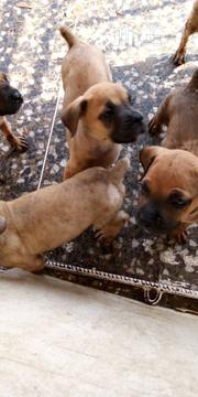 Baby Female Purebred Boerboel | Dogs & Puppies for sale in Oyo State, Egbeda