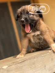 Young Male Mixed Breed Caucasian Shepherd Dog | Dogs & Puppies for sale in Lagos State, Ajah