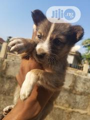 Baby Male Mixed Breed English Setter | Dogs & Puppies for sale in Abuja (FCT) State, Kubwa