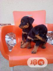 Baby Male Purebred Rottweiler | Dogs & Puppies for sale in Abuja (FCT) State, Dei-Dei
