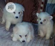 Baby Female Purebred American Eskimo Dog | Dogs & Puppies for sale in Rivers State, Port-Harcourt