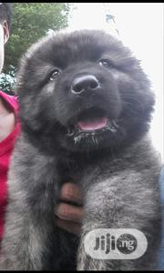 Baby Male Purebred Caucasian Shepherd Dog | Dogs & Puppies for sale in Rivers State, Port-Harcourt
