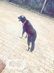Senior Male Mixed Breed German Shepherd Dog | Dogs & Puppies for sale in Rivers State, Port-Harcourt