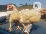 Broilers For Sale | Livestock & Poultry for sale in Lagos State, Ikorodu
