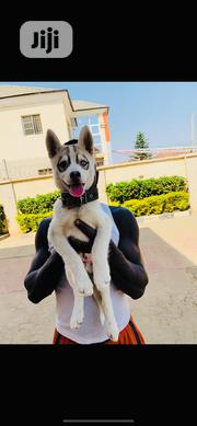 Young Female Purebred Siberian Husky | Dogs & Puppies for sale in Abuja (FCT) State, Lokogoma
