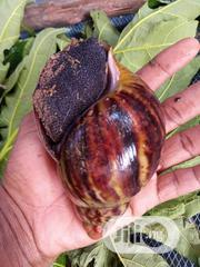 Giant Africa Snail | Other Animals for sale in Oyo State, Ibadan