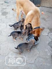 Baby Male Purebred German Shepherd Dog | Dogs & Puppies for sale in Rivers State, Obio-Akpor