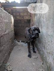 Adult Male Purebred Boerboel | Dogs & Puppies for sale in Abuja (FCT) State, Kabusa