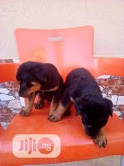 Baby Male Purebred Rottweiler | Dogs & Puppies for sale in Abuja (FCT) State, Kubwa