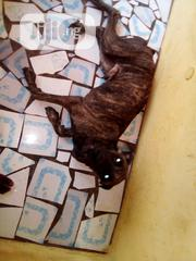 Adult Male Purebred Boerboel | Dogs & Puppies for sale in Oyo State, Ido