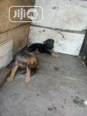 Baby Male Purebred German Shepherd Dog | Dogs & Puppies for sale in Oyo State, Ibadan South East
