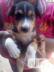 Baby Male Mixed Breed Rottweiler | Dogs & Puppies for sale in Ogun State, Sagamu