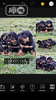 Baby Female Purebred Rottweiler | Dogs & Puppies for sale in Rivers State, Port-Harcourt