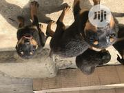 Baby Female Purebred Rottweiler | Dogs & Puppies for sale in Abuja (FCT) State, Kubwa