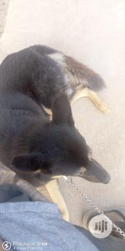 Adult Male Purebred German Shepherd Dog | Dogs & Puppies for sale in Ogun State, Ado-Odo/Ota