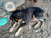 Adult Female Mixed Breed German Shepherd Dog | Dogs & Puppies for sale in Rivers State, Port-Harcourt